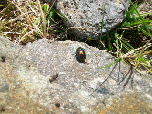 Adult Rainbow Beetle