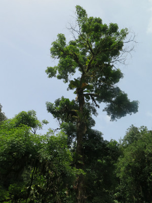 A 90 ft Andira sp. along the Marienne River