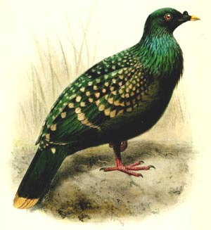 Painting of Spotted Green Pigeon