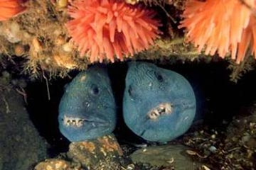 Two large blue fish with teeth showing