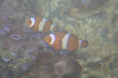 Two orange fish swimming in a tank with corals