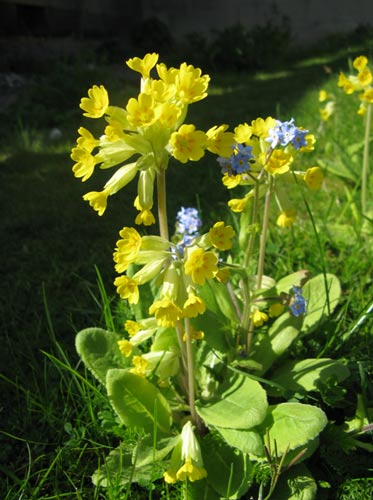 A cowslip growing in the city garden.