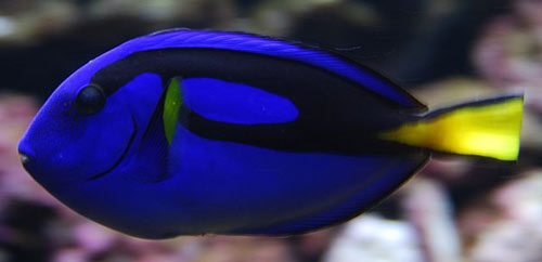 Blue fish with a yellow tail