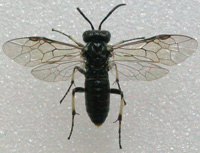 photo of a black fly with 4 wings