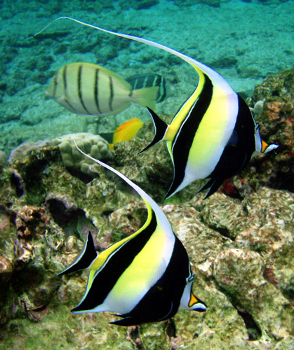 A black, white and yellow fish