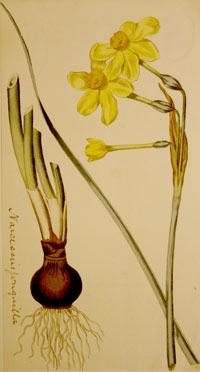 watercolour illustration of a daffodil
