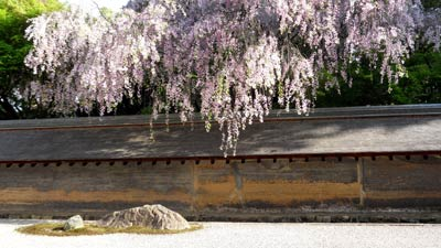 photo of tree blossom overhanging the wall of a gravel garden