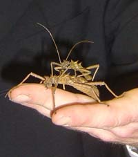 A demonstrator holding 2 stick insects