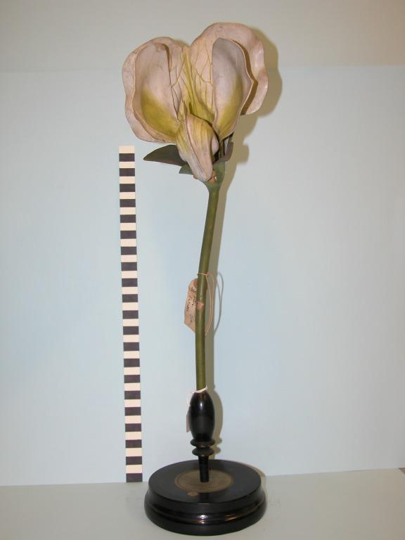 Pisum sativum card