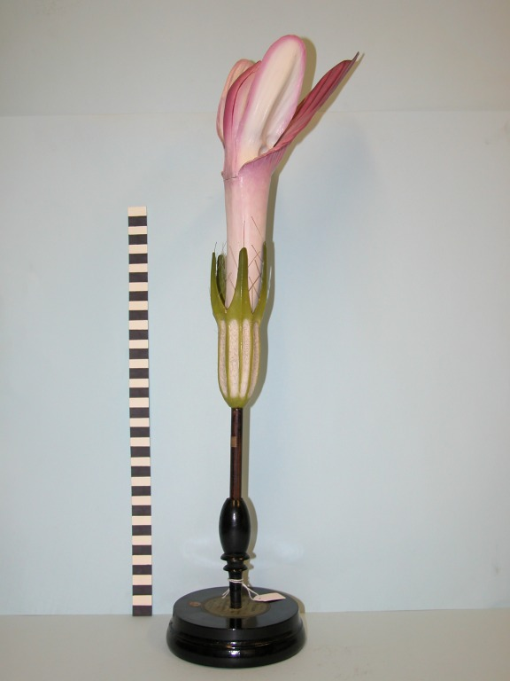 Trifolium pratense card