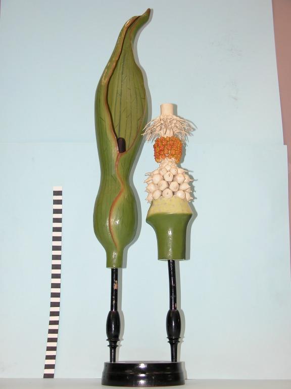 Arum maculatum card