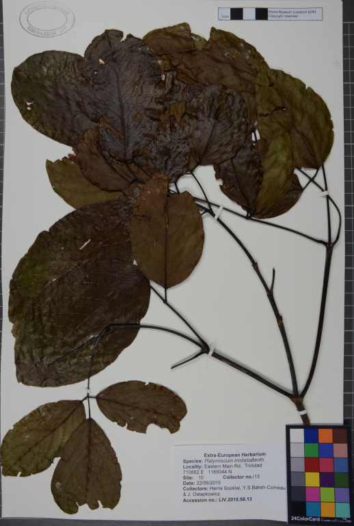 Platymiscium trinitatis card