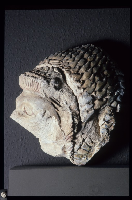 Lion's head card