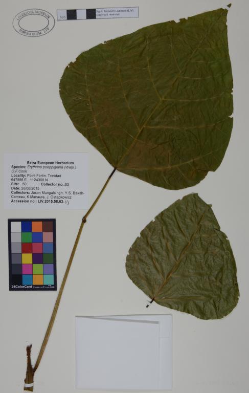 Erythrina poeppigiana card