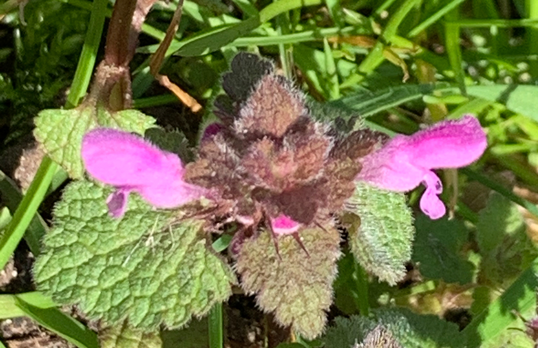 Pink flower, a Red dead-nettle