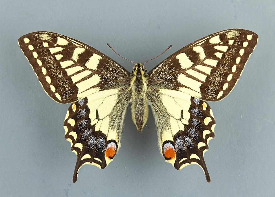 Butterflies and Moths (Lepidoptera) collection