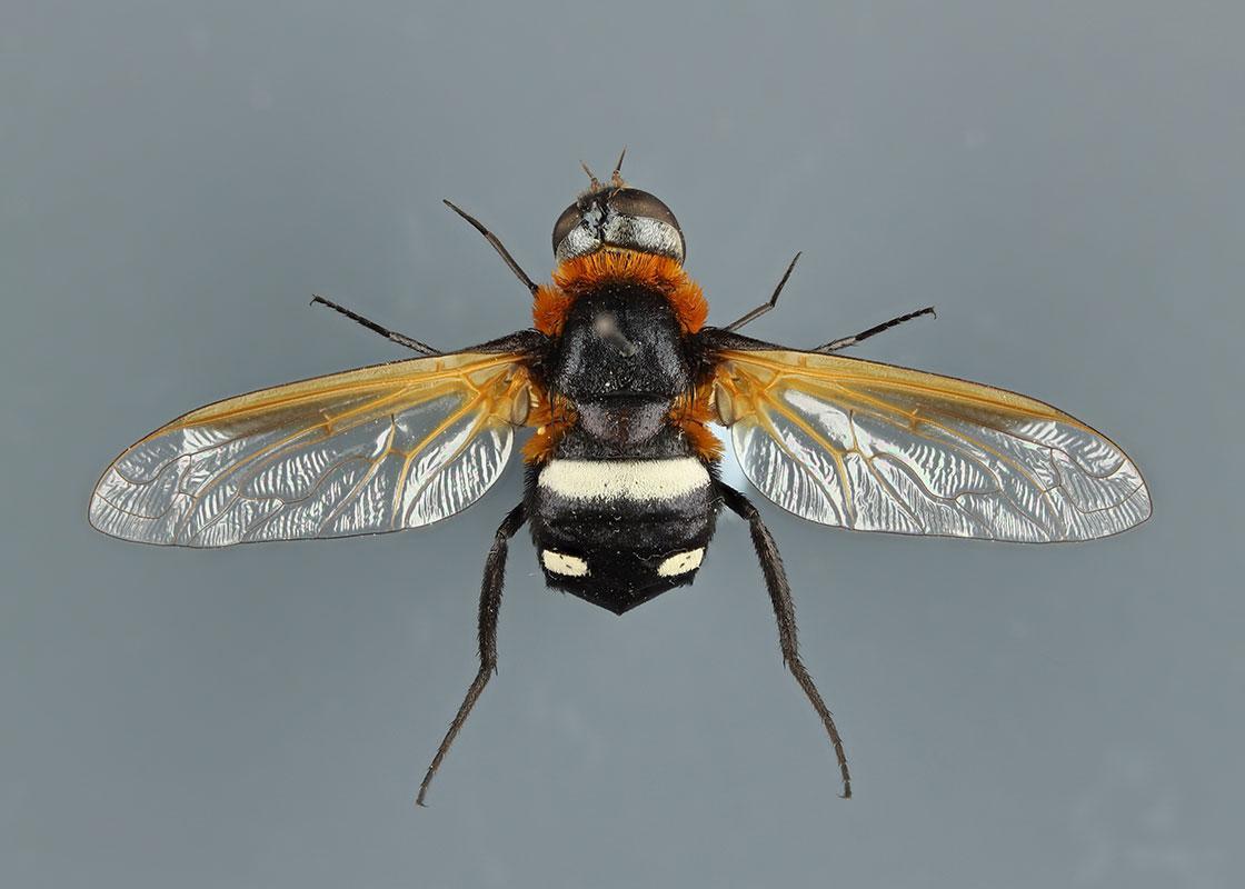 True Flies (Diptera) collection