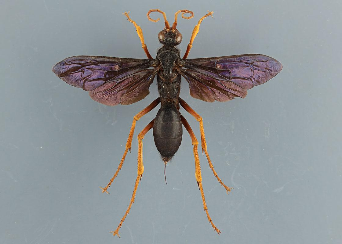 Bees, Wasps, Ants, and Sawflies (Hymenoptera)