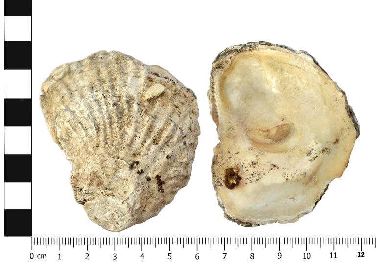 Shell; Mollusca; Oyster (Ostrea edulis) card