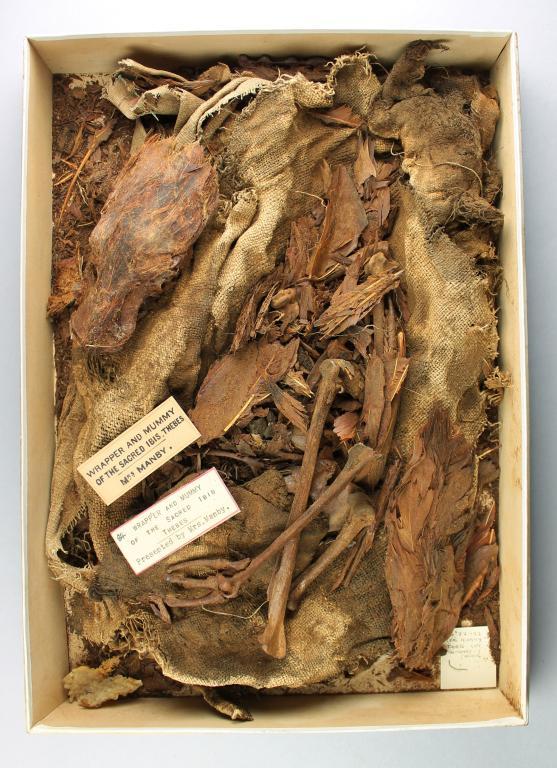 Mummified Ibis card