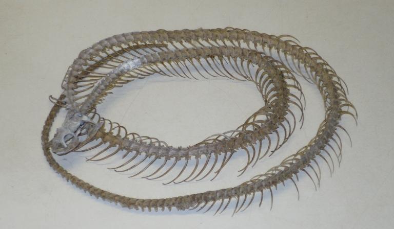 Corallus hortulanus enydris (Linnaeus, 1758) card