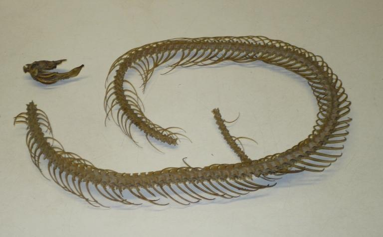 Agkistrodon piscivorus (Lacepede, 1789) card