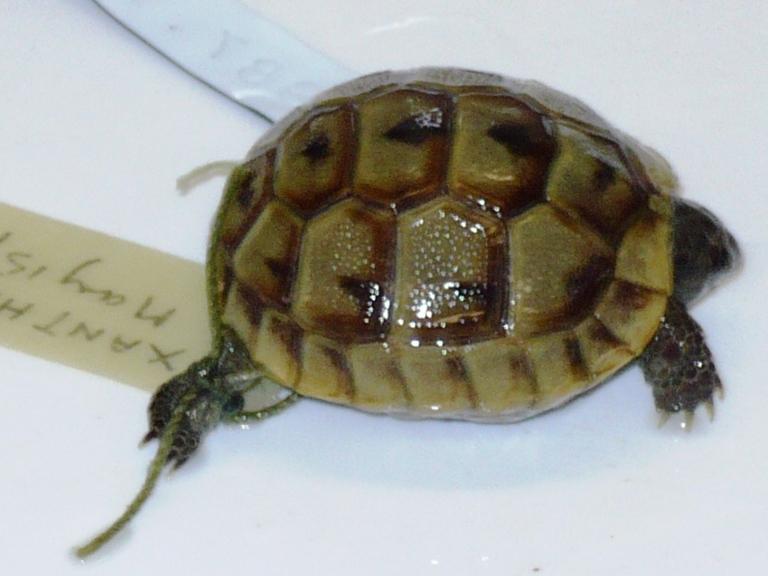 Testudo graeca Linnaeus, 1758 card