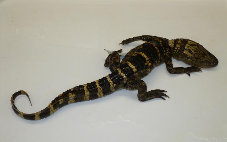 Alligator mississippiensis (Daudin, 1801) card