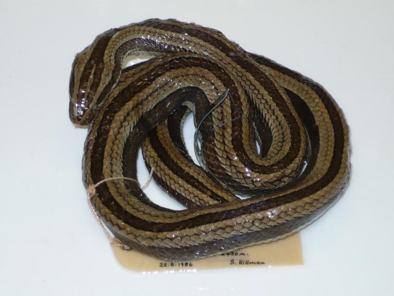 Pseudoboodon lemniscatus (Dumeril & Bibron, 1854) card