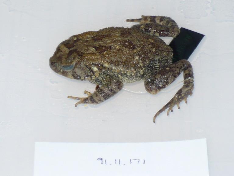 Bufo maculatus Hallowell, 1855 card
