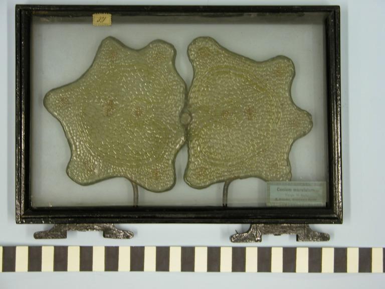 Conium maculatum card