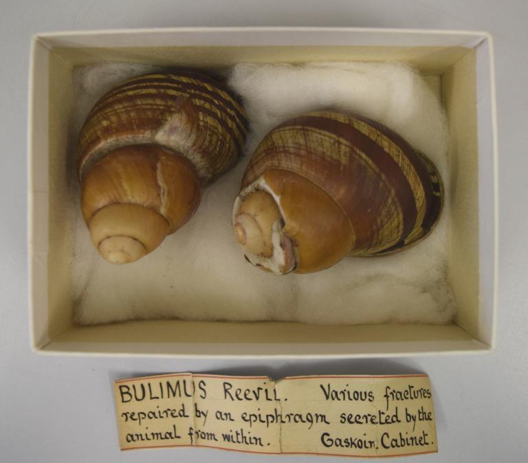 Bulimus Reevil card
