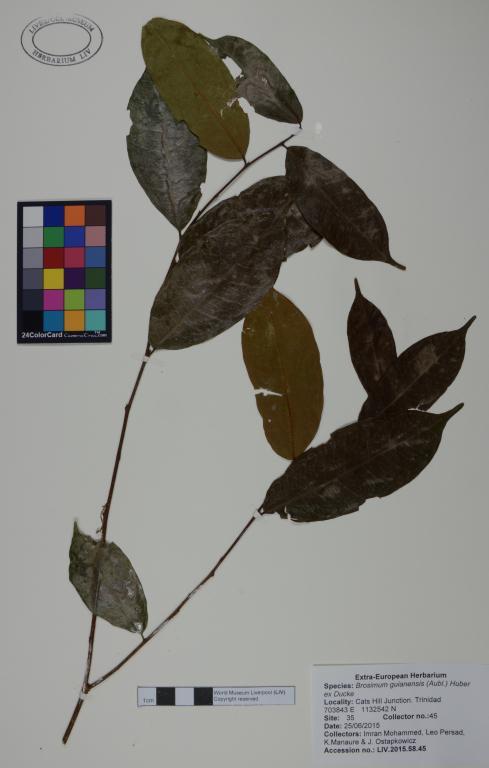 Brosimum guianensis card