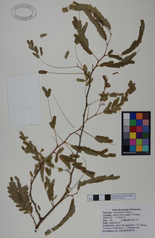 Tamarindus indica card