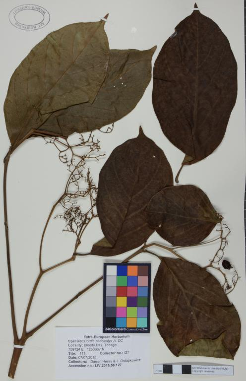Cordia sericicalyx card
