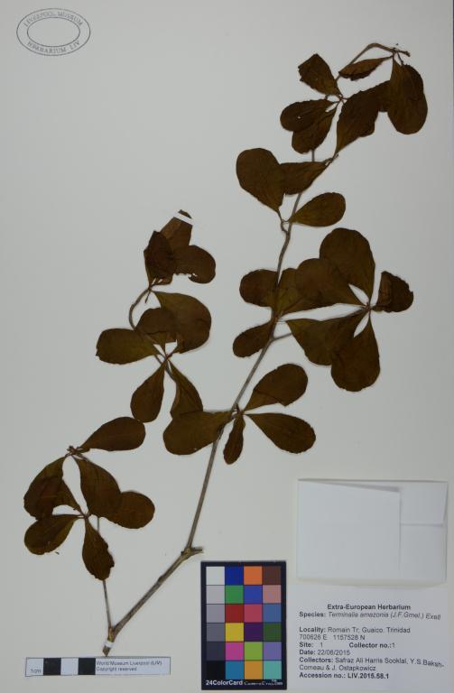 Terminalia amazonia card